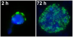 Cell nucleus of a plant seed in a dormant state (left) and after  germination (right). The DNA in the smaller nucleus (blue) is more  tightly compacted than in the larger one (green: methylated DNA).