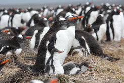 Close neighbourly relations: Like these gentoo penguins on the Falkland Islands, seabirds often breed in dense colonies. The very conditions that provide the birds with protection against predators, promote the spread of ticks and other bloodsuckers which can transmit diseases. This population was found to be free of blood parasites, however.