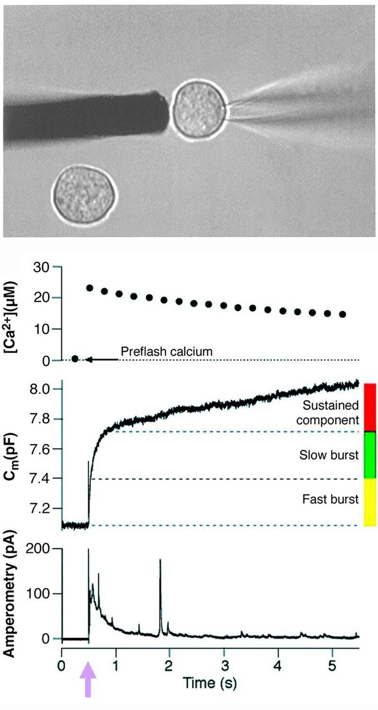 Messung der Adrenalinfreisetzung an einer chromaffinen Zelle des Nebennierenmarks. In der obersten Tafel werden zwei isolierte Zellen gezeigt. Eine da