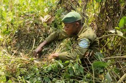 A park guard measures gorilla dung in Kahuzi-Biega National Park.