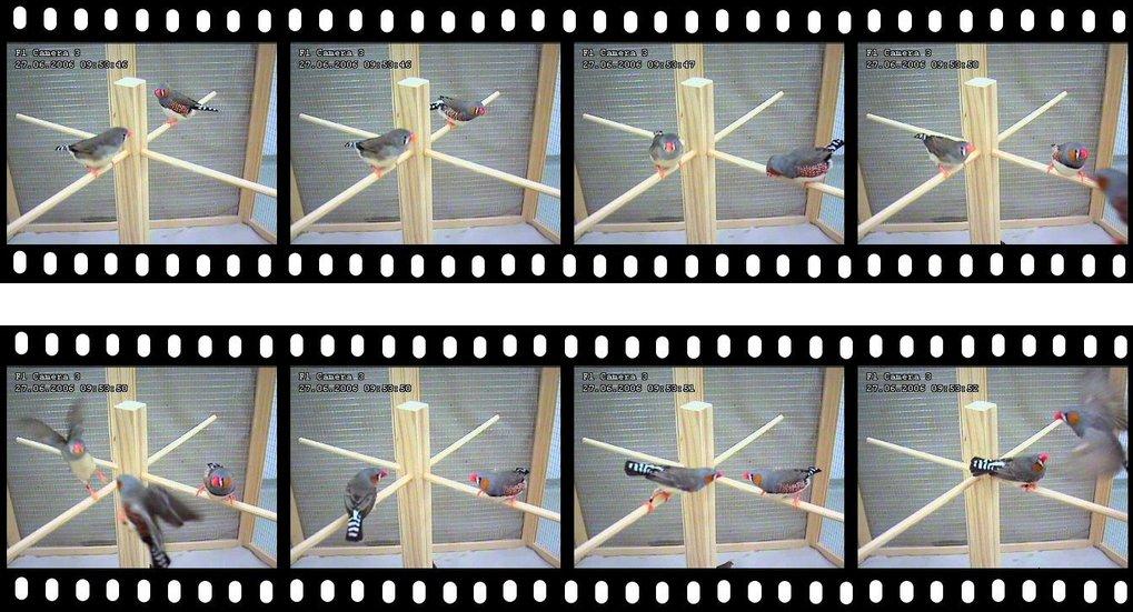 <strong>Abb. 1: </strong>Rund-um-die-Uhr-Überwachung farbberingter Zebrafinken erlaubt neue Einblicke in die Mechanismen des Seitensprungs. Hier: Eine