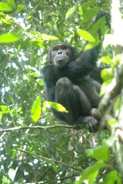 Chimpanzees fear snakes. This one took refuge on a tree.