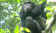 Wild chimpanzees monitor the information available to other chimpanzees and inform their ignorant group members of danger