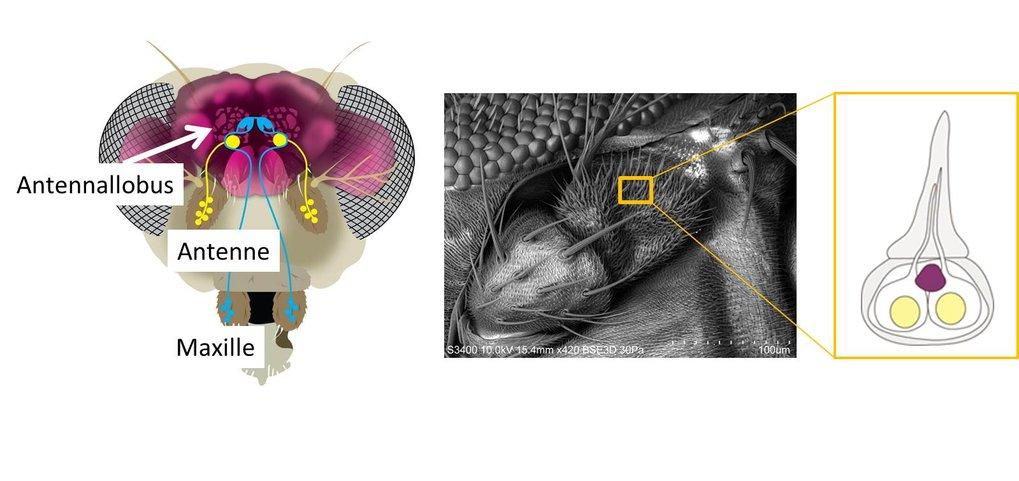 Das Geruchssystem der Fruchtfliege. Duftneurone befinden sich auf Antennen und Maxillen. Sie schicken Informationen mit den Axonen in den sogenannten