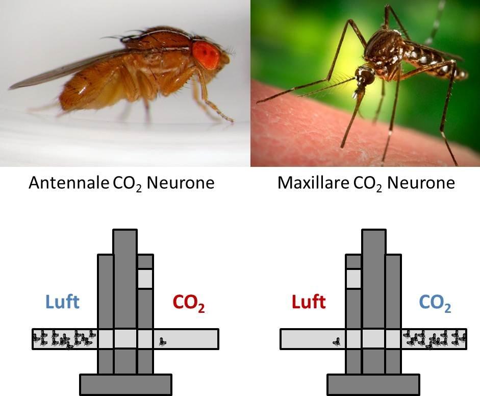 CO2 hat eine unterschiedliche Bedeutung für Mücken und Fliegen. Fliegen besitzen CO2 Neurone auf ihren Antennen. Bei Mücken befinden sich diese auf de