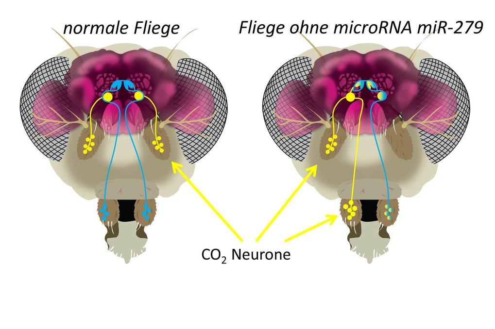 Fliegenmutanten mit Mückengeruchssystem. In Wildtypfliegen sitzen die CO2 Neurone ausschließlich auf der Antenne. Entfernt man microRNA miR-279 oder