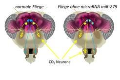 <strong>Abb. 3: </strong>Fliegenmutanten mit Mückengeruchssystem. In Wildtyp-Fliegen sitzen die CO<sub>2</sub>-Neurone ausschließlich auf der Antenne.