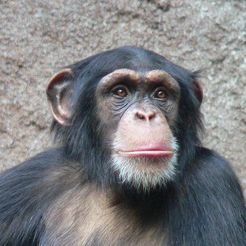 Chimpanzee. While all four species of great apes demonstrated sophisticated decision making strategies, chimpanzees and orangutans were overall more likely to make risky choices relative to gorillas and bonobos.