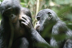 Bonobos bei der Fellpflege in Lui Kotale, Salonga Nationalpark, Demokratische Republik Kongo