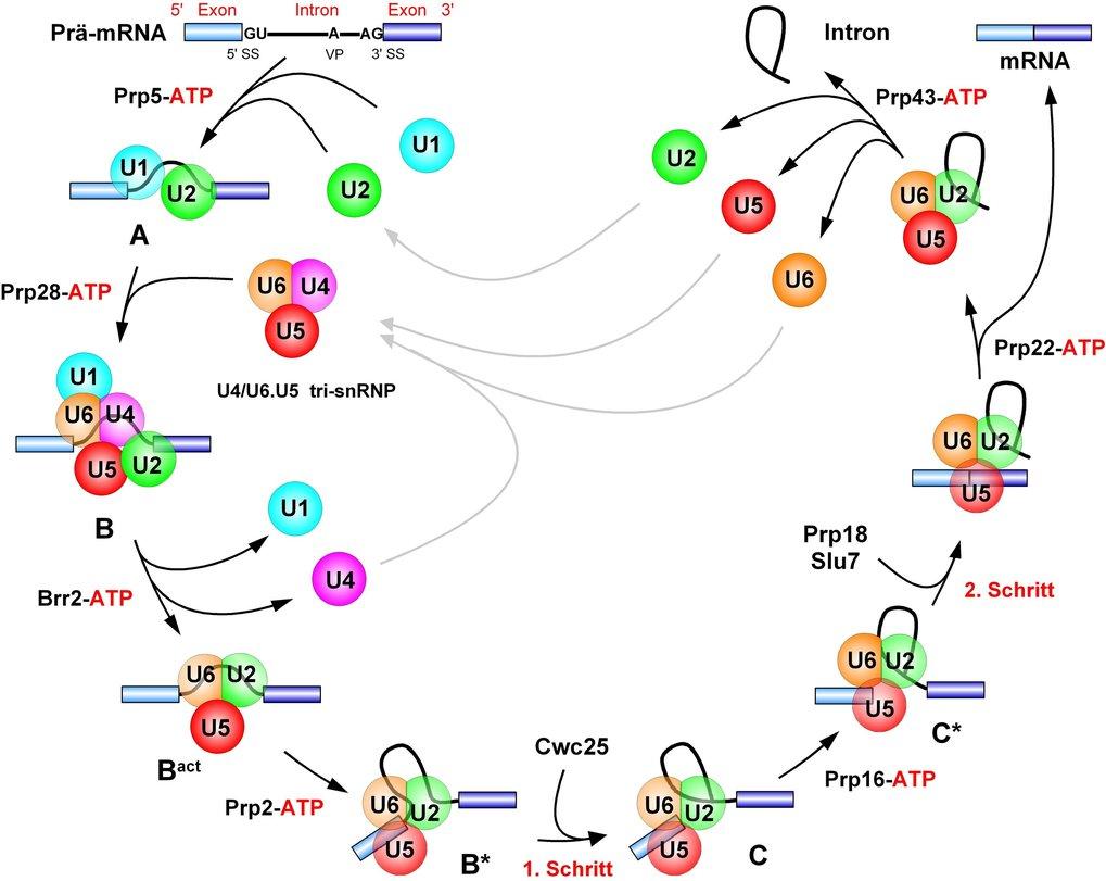 <b>Abb. 1:</b> Zusammenlagerung des Spleißosoms durch schrittweise Bindung der U-snRNPs an ein Intron. In der frühen Phase der Spleißosomen-Zusammenl