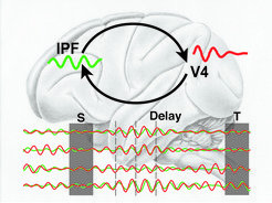 In each of the two brain regions (IPF and V4) brain activity shows strong oscillations in a certain set of frequencies called the theta-band.