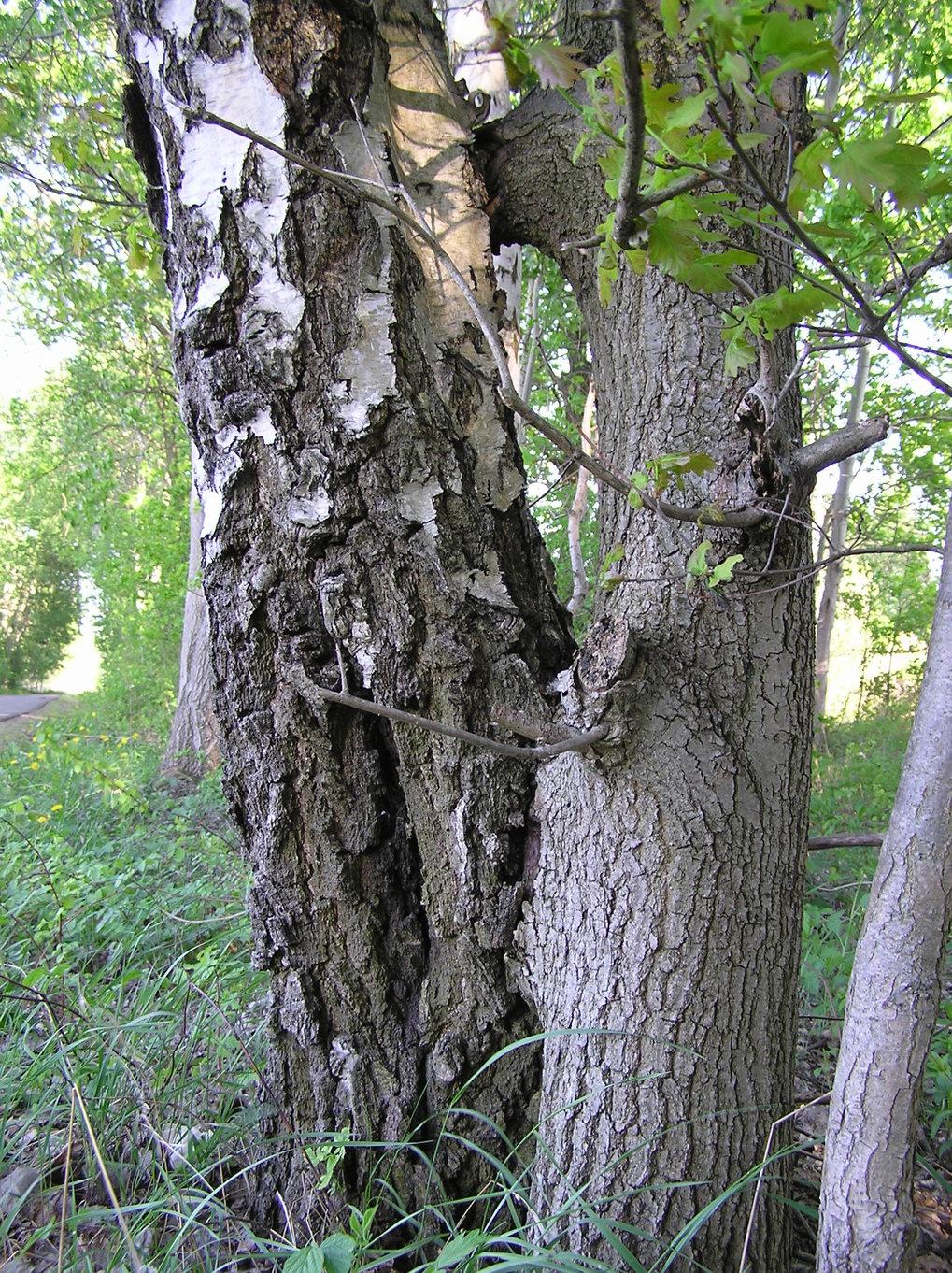 Natürliche Pfropfung zwischen einer Birke (links) und einer Eiche (rechts). Sexuell inkompatible Spezies können an solchen Stellen Chloroplastengenome