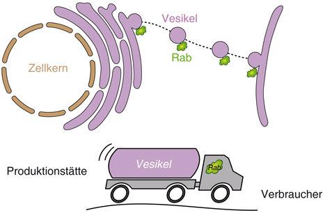 Abb. 1: Rab-Proteine kontrollieren vesikuläre Transportprozesse. Rab-Proteine binden an Vesikeln (oben) und sorgen ähnlich wie Lastwagenfahrer (unten)