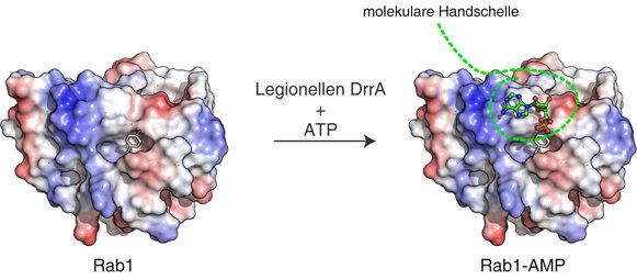 Abbildung2: Legionellen können Rab-Proteine manipulieren. Das Legionellenprotein DrrA verwendet die allgemeine Energiewährung der Zelle (ATP), um dam