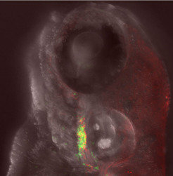 This image depicts a four-day-old zebrafish embryo. The immune cells are illmuniated in green; the thymus tissue in red. The eye is visible in the  top part of the picture.