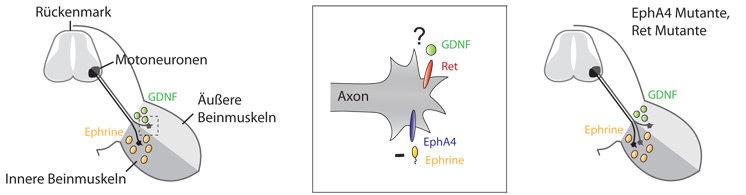 Der Aufbau der Nerv-Muskel-Verbindungen. Links: Die Motoneuronen  befinden sich im Rückenmark, wobei die Zellen, die näher zur Mitte  liegen, mit den