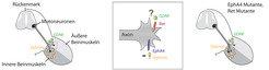 <strong>Abb. 1:</strong> Der Aufbau der Nerv-Muskel-Verbindungen. Links: Die Motoneuronen befinden sich im Rückenmark, wobei die Zellen, die näher zu