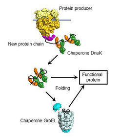The chaperone DnaK binds to new proteins and mediates their folding. Proteins it cannot fold, DnaK transports to GroEL, a highly specialised folding machine.