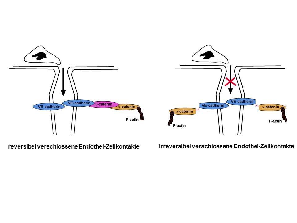 <b>Abb. 3: </b>Das Adhäsionsmolekül VE-cadherin ist über eine Reihe von intrazellulären Proteinen am Aktin-Zytoskelett verankert. Auf diese Weise vers