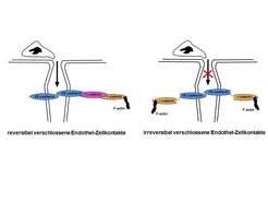 <b>Abb. 3: </b>Das Adhäsionsmolekül VE-cadherin ist über eine Reihe von intrazellulären Proteinen am Aktin-Zytoskelett verankert. Auf diese Weise ver
