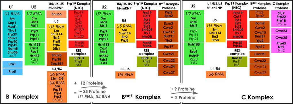 <b>Abb. 3:</b> Dynamische Veränderung der Proteinzusammensetzung des Hefe-Spleißosoms während der katalytischen Phase. Die Abbildung zeigt die Protei