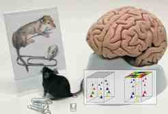 "<p>Ancestor (left) and descendant (right). The image shows a reconstruction of the common ancestor of all living mammals (Hadrocodium wui) from the Early Jurassic, which has the size of a paper clip. Right, a model of a human brain. In terms of brain organisation, the mouse (centre) is probably a ""living fossil"". The diagrams to the right show a mixed (right) and a modular ordered structure of nerve cells in the cortex.</p>"