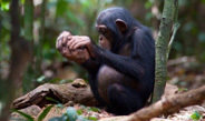 Despite similar ecological conditions neighboring chimpanzee groups use different hammers to crack nuts