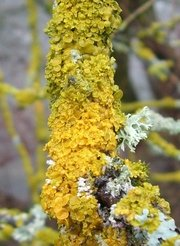 Lichen on a twig. The photo shows various lichen species that have colonised a twig. Lichens as the common orange lichen (<i>Xanthoria</i><i> parietina</i>) are a symbiosis of a fungus and green or blue green algae (cyanobacteria). They belong to the cryptogamic covers that can fix carbon dioxide and nitrogen depending on the species.