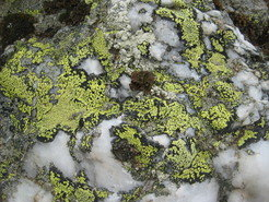 <p>Lichens, like the green-yellow map lichen depicted in this image, are pioneers of life: They grow on rocks, paving the way for other plants. </p>