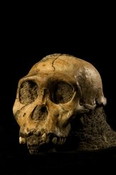 Skull of a male Australopithecus sediba, which was discovered in 2008 in the Malapa excavation site in South Africa.