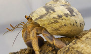 Humidity increases odour perception in terrestrial hermit crabs