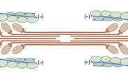 Max-Planck-Wissenschaftler beobachten Grundlage der Muskelbewegung mit bislang unerreichter Schärfe
