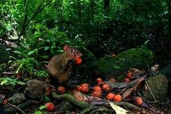 Agouti with a palm fruit in the tropical forests of Panama.