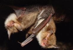 A pair of Natterer's bats.