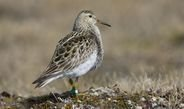 During the breeding season, polygynous male pectoral sandpipers that sleep the least sire the most young.