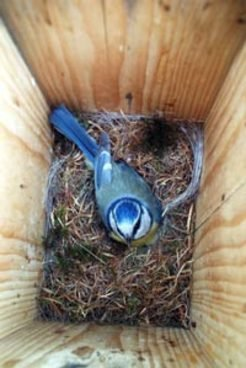 Female blue tits (Parus caeruleus) choose a single social partner. This male defends a territory with a nestbox, and he provides help with offspring care. Since many females compete for only a few vacant males with territories, some of them will end up with less than the 'man-of-their-dreams'. Extra-pair copulations may then be an option to improve the genetic quality of the progeny.