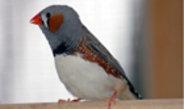 Vogeleltern geben die Klangfarbe ihres Gesangs an ihre Kinder weiter