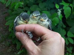 These blue tit siblings share the nest, but not the genetic father. Shortly before fledging they all look equally well developed, but the first winter will separate the chaff from the wheat: those, whose parents were genetically less similar, have a much better chance to survive.