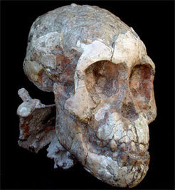 The skull of the Australopithecus afarensis child