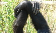 Different chimp communities display various styles of grooming behaviour.
