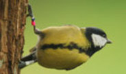 Gene variation is the reason that some great tit populations are more curious than others.