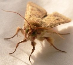 All grown up: male moth of the globally dreaded pest insect.