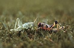 With increasing population density, locusts change colour from green to yellow-brown. They also behave completely differently: solitary individuals become gregarious ones. Locusts follow the conspecifics that are moving away from them, and flee from those that are approaching them. This results in collective movement in the swarm, reducing the risk of cannibalism.