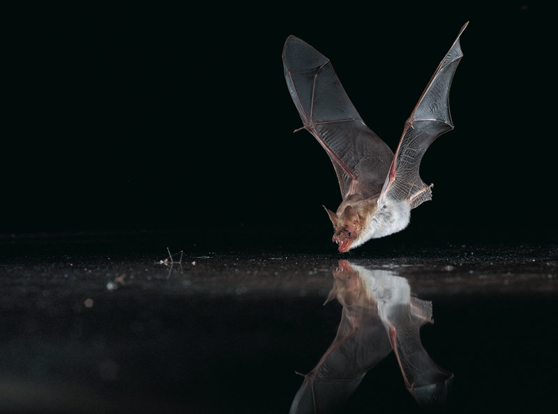 Ears tuned to water max planck society for Fish eating bat