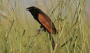 Afrikanische Grillkuckuck-Weibchen vertreiben Eindringlinge mit ihrem Gesang