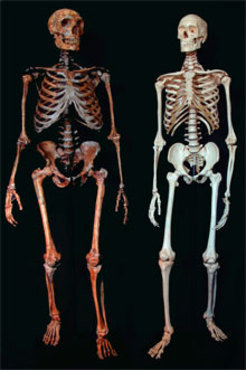 Skeleton of a neanderthal (left) and a modern human (right).