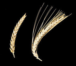 The Barley spike without awns from an Ethiopian landrace has a specific resistance gene, called Mlo, and has protected the plants from powdery mildew. The resistance gene was introduced into European cultivars (spike with awns) by traditional breeding methods in the 1970's.
