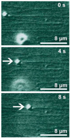 Three snapshots showing the transport of a micrometer bead (white arrow) at 0, 4, and 8 seconds. The bead is pulled by molecular motors, which are too small to be visible, along parallel filaments, which are immobilized on a substrate surface. All filaments are aligned in such a way that their 'plus' ends point to the right and form a multi-lane highway in the nanoregime. The bead moves about 8 micrometers in 8 seconds; during this time, each motor makes about 800 steps.