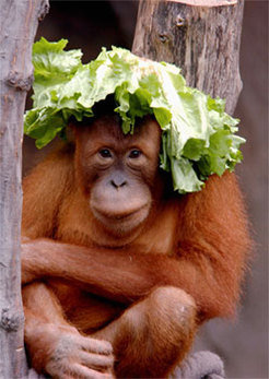Padana, a young female orangutan at the Leipzig Zoo, who was one of the research subjects.