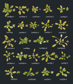Incompatible hybrids from crosses between the Arabidopsis thaliana accession Ler and different accessions from Central Asia at low temperatures (14º). Each pair represents two second-generation plants, which are heterozygote (left) or homozygote (right) for the incompatible allele interaction. Because incompatible alleles are recessive, only homozygotes display dwarfism. In contrast, the heterozygotes grow normally.